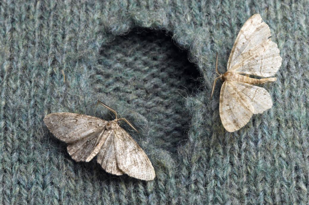 Kleidermotten fressen Löcher in Pullover