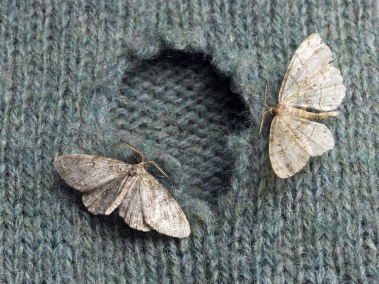 Kleidermotten loswerden: So werden die Schädlinge im Schrank bekämpft